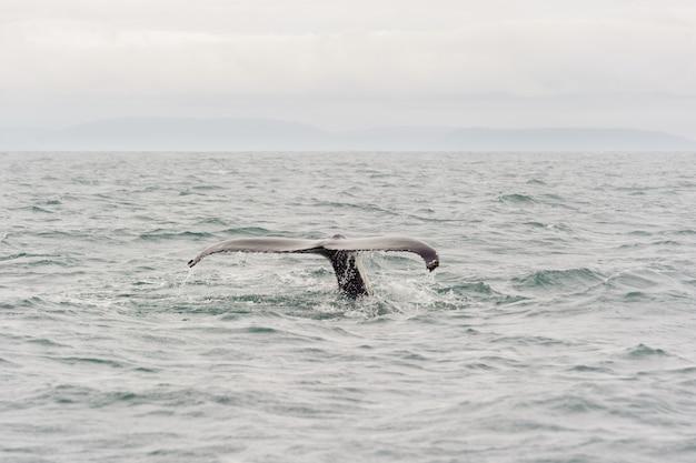 Balena che inizia un'immersione profonda