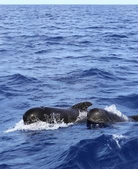 Balene pilota gratuite con bambino nel mediterraneo