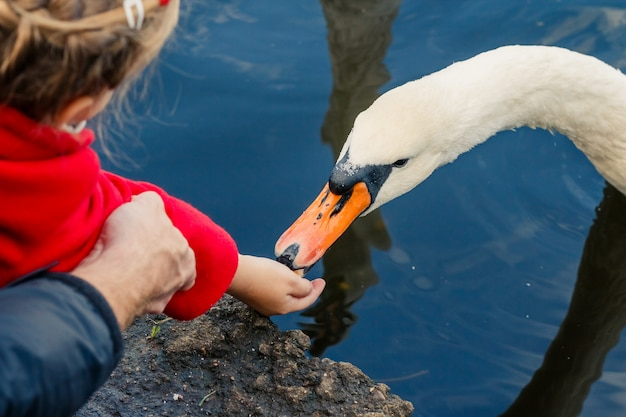 Bambino che alimenta il cigno bianco dalla mano nel parco cittadino, cigno sull'acqua. nutrire gli uccelli nel parco
