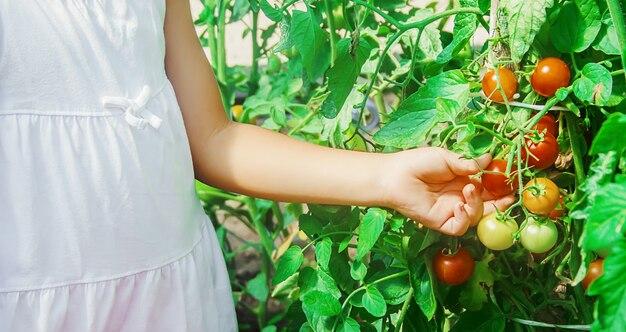 Bambino raccoglie un raccolto di pomodori fatti in casa. messa a fuoco selettiva.