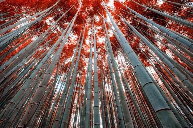 Bambù con la foglia rossa in foresta con luce solare