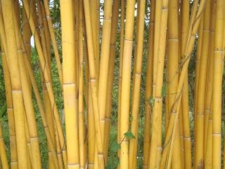 Bambù dorato