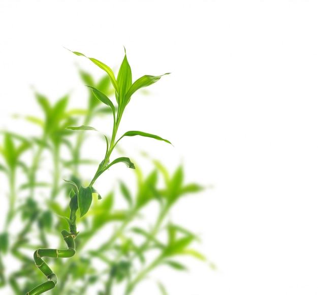 Bambù su bianco isolato