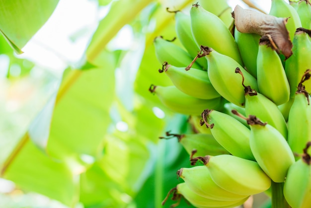 Banana coltivata, banana cruda verde fresca sull'albero.