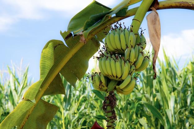 Banana sull'albero in azienda agricola.