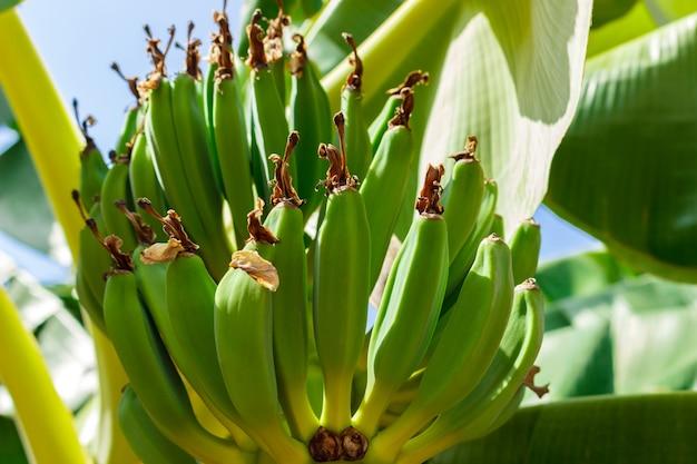 Banane non mature nel giardino alto vicino