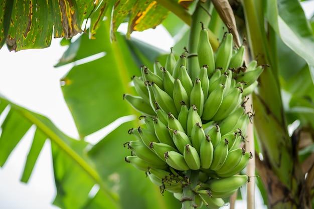 Banane verdi sull'albero di banana.