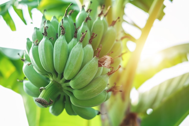 Banane verdi sull'albero