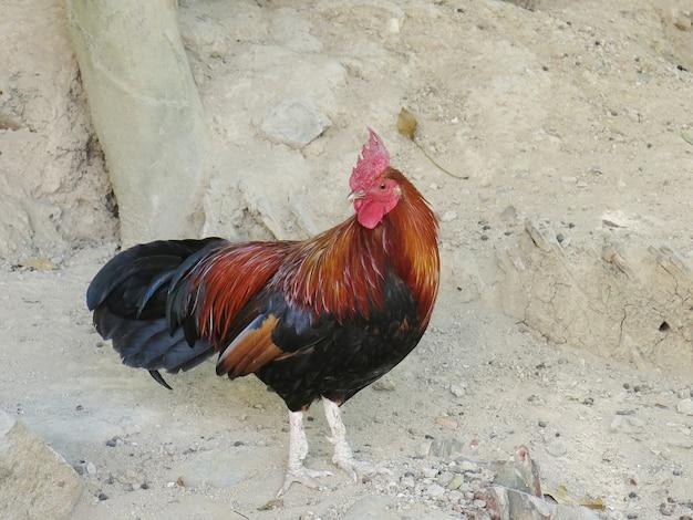 Bantam di pollo all'aperto