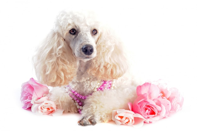 Barboncino e fiori su bianco