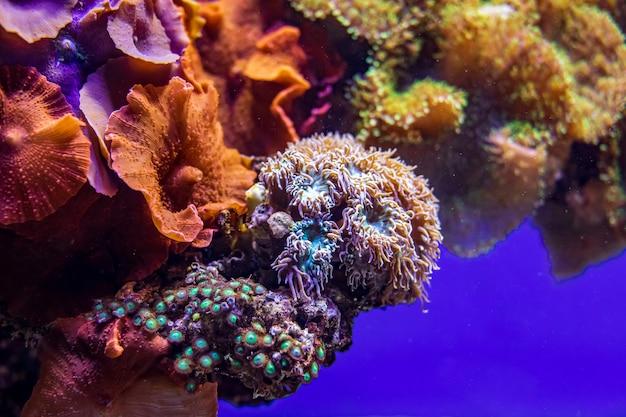 Barriera corallina variopinta con anemoni di mare, vita sottomarina