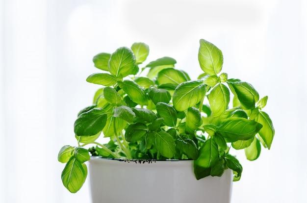 Basilico fresco in vaso, erba con gocce d'acqua e luce solare