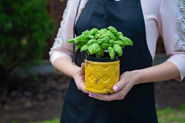 Basilico verde fresco in una pentola di senape nelle mani di uno chef professionista. cibo sano.