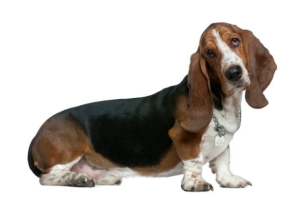 Basset hound, 22 mesi, seduto di fronte al muro bianco