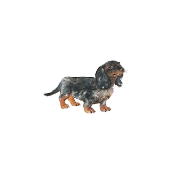 Bassotto dell'acquerello, cane di tasso tedesco. ritratto realistico disegnato a mano dell'animale domestico su fondo bianco.