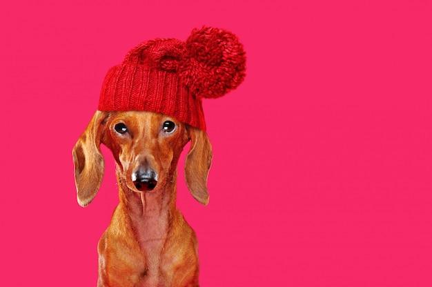Bassotto divertente che porta il cappello rosso di inverno