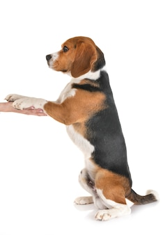 Beagle isolato