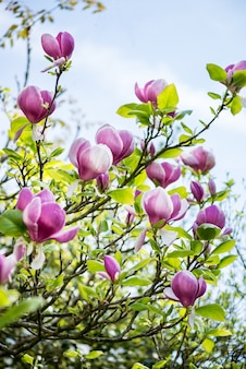 Beautifull light pink / purple magnolia tree