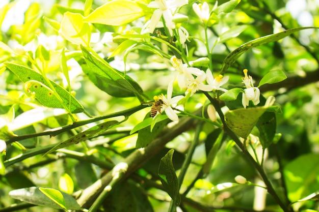 Bee drink citrus sinensis fiore bianco