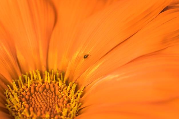 Beetle in meraviglioso fiore d'arancio
