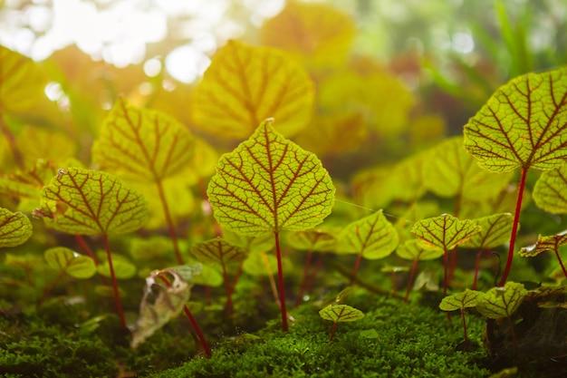 Begonia foglie sulla roccia nei boschi profondità di foresta pluviale
