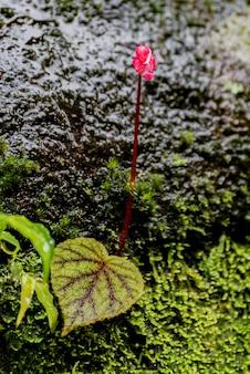 Begonia lascia sulla roccia