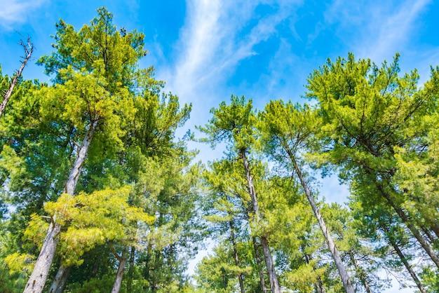 Bei alberi di pino con cielo blu.