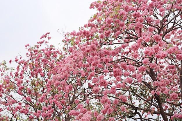 Bei alberi di tabebuia rosea o di tromba che fioriscono nella stagione primaverile. fiore rosa nel parco.