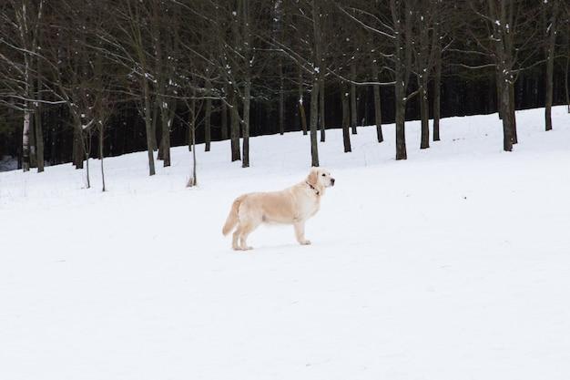 Bei animali domestici - ritratto di un grande golden retriever su una passeggiata invernale vicino a una foresta innevata