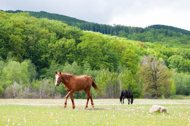 Bei cavalli marroni e neri che mangiano erba e che pascono in un prato e in un campo verde.