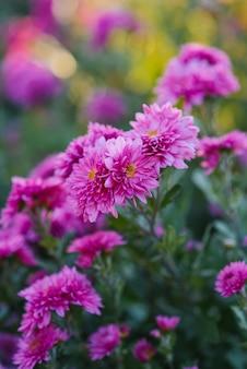 Bei crisantemi porpora rosa che fioriscono in autunno nel giardino, primo piano
