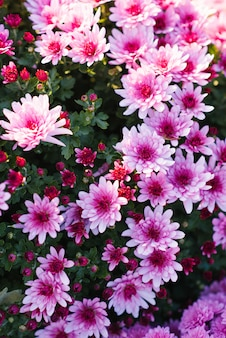 Bei crisantemi viola di autunno nel giardino