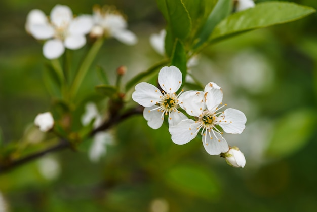 Bei fiori del primo piano di cerasus dell'albero