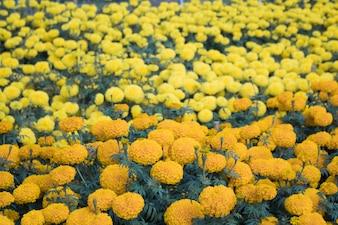 Bei fiori del tagete del primo piano nel giardino La mattina
