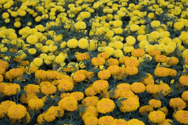 Bei fiori del tagete del primo piano nel giardino