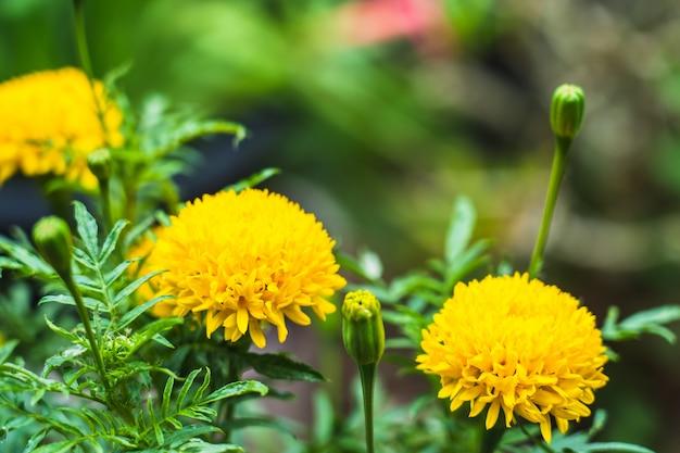 Bei fiori di fioritura del tagete dell'asia nel giardino