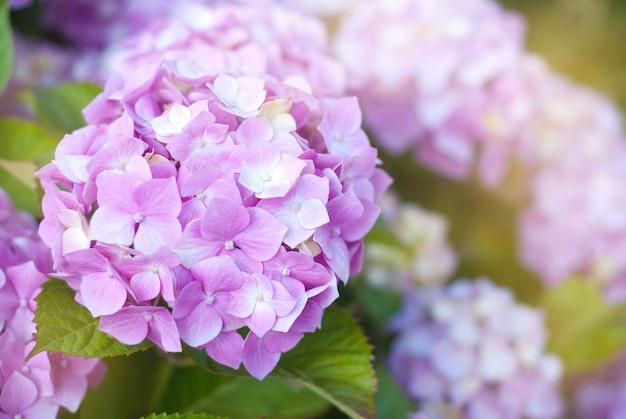Bei fiori di fioritura dell'ortensia rosa.