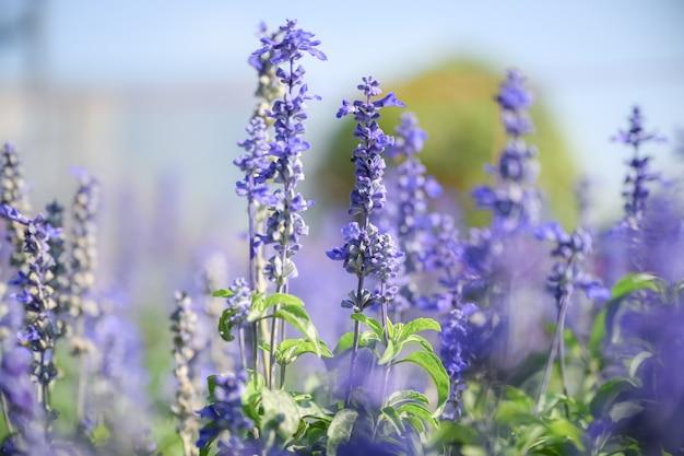 Bei fiori di lavanda nel giardino di estate.