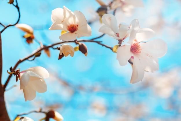 Bei fiori di una priorità bassa del magnoliin del cielo blu. sfondo di primavera messa a fuoco selettiva
