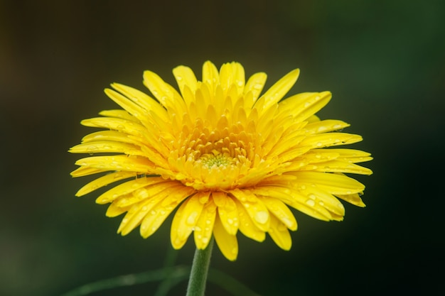 Bei fiori gialli con le gocce di acqua su fondo verde.
