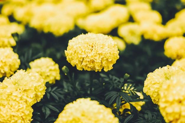 Bei fiori gialli del fiore del tagete (tagetes) in giardino.