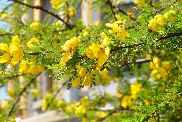 Bei fiori gialli dell'albero del tè della maturità