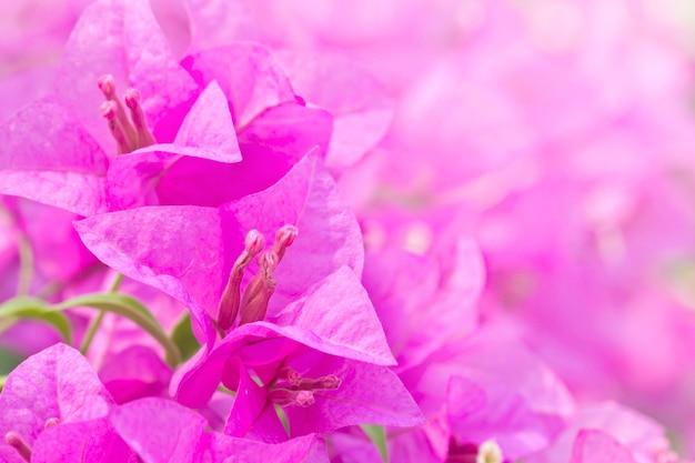 Bei fiori magenta di glabra della buganvillea della bouganville