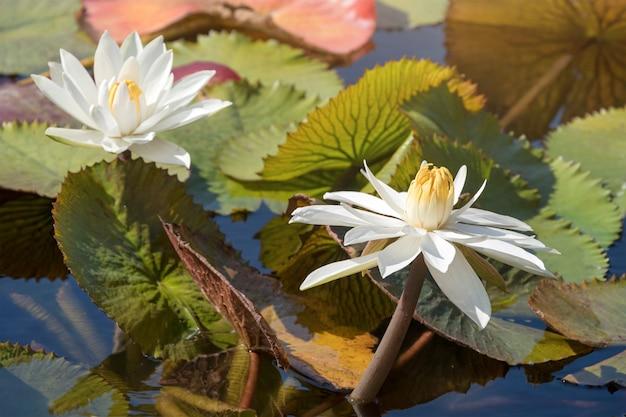 Bei fiori o ninfea di loto bianchi con la foglia verde nello stagno. giardino botanico di porto, portogallo