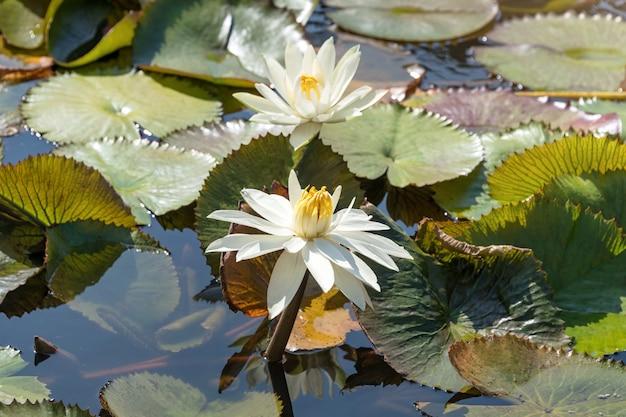 Bei fiori o ninfea di loto bianchi con la foglia verde nello stagno.