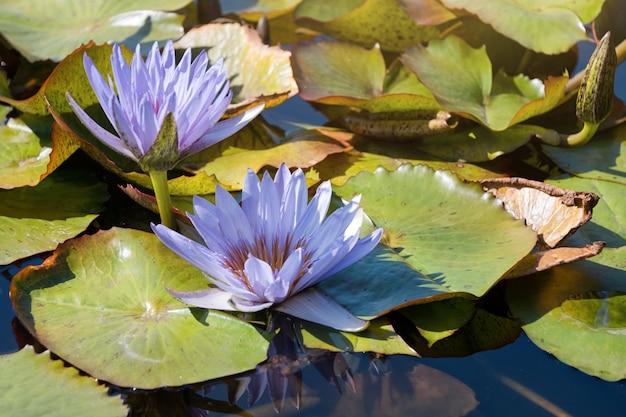 Bei fiori o ninfea viola del loto con la foglia verde nello stagno.