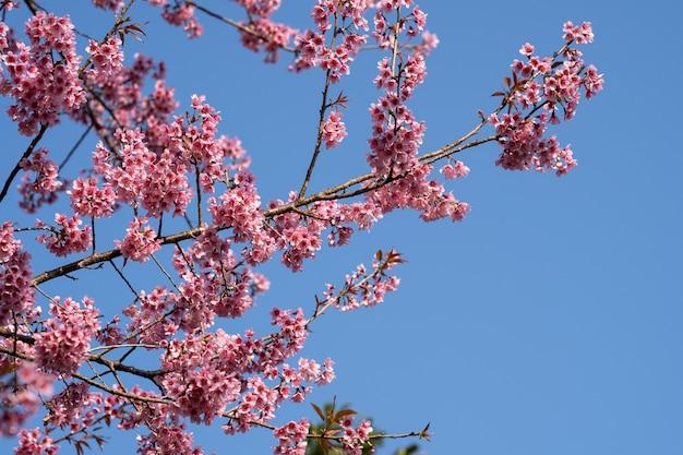 Bei fiori rosa del fiore di ciliegia (sakura tailandese) che fioriscono nella stagione invernale