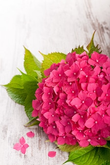 Bei fiori rosa dell'ortensia