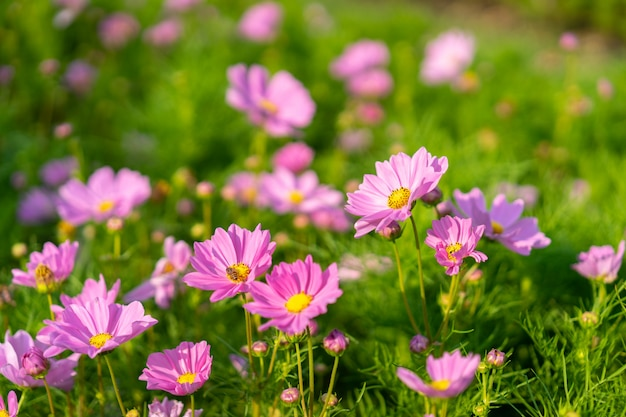 Bei fiori rosa dell'universo che fioriscono nel giardino