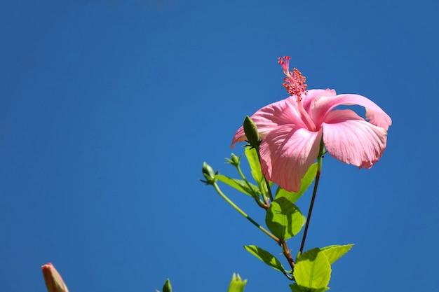 Bei fiori rosa di cinese rosa con chiaro cielo blu nell'ora legale.
